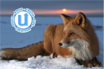 AnimalsFox1