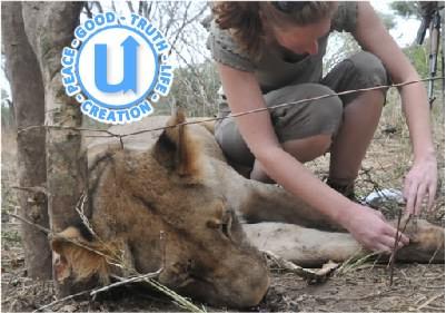 AnimalsLion13