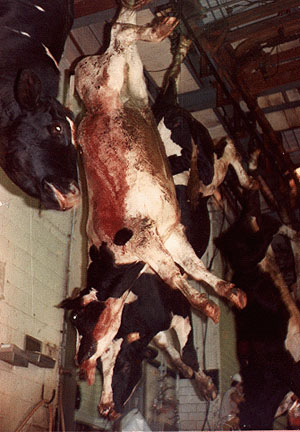 cow-slaughter-kosher[1]